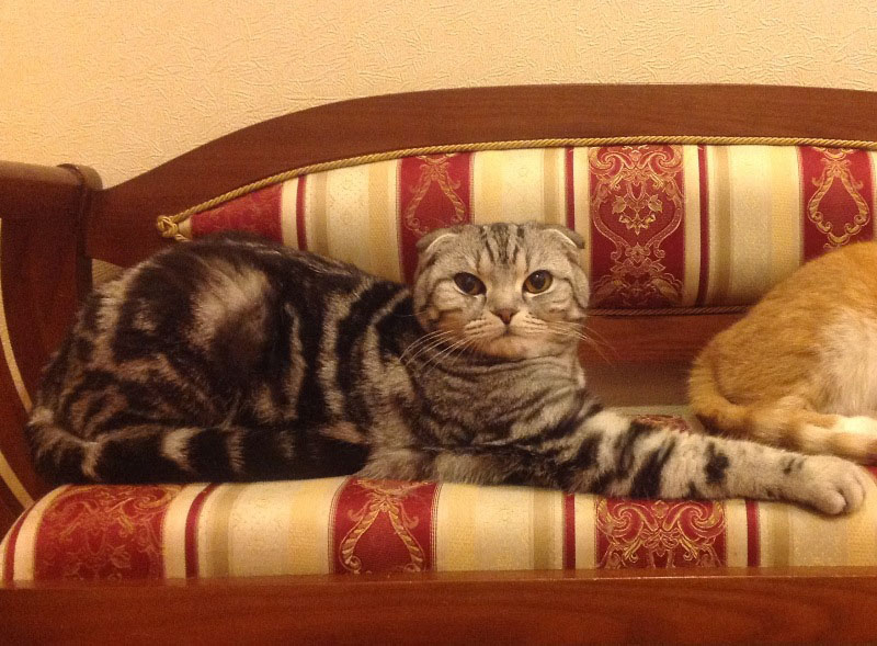 Scottish fold cattery Goldina Line