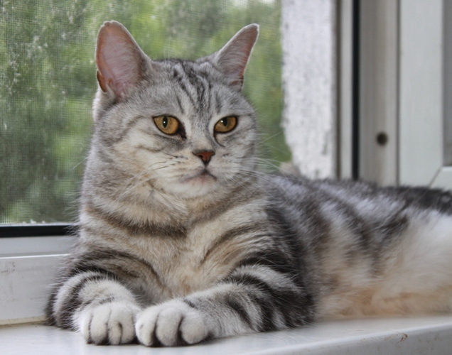 Scottish straight cat from Russia. Cattery Goldina Line