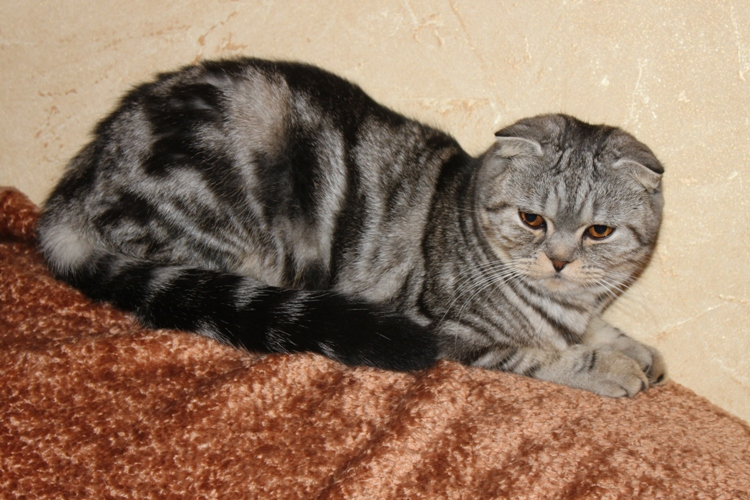 Scottish fold cattery Goldina Line from Russia